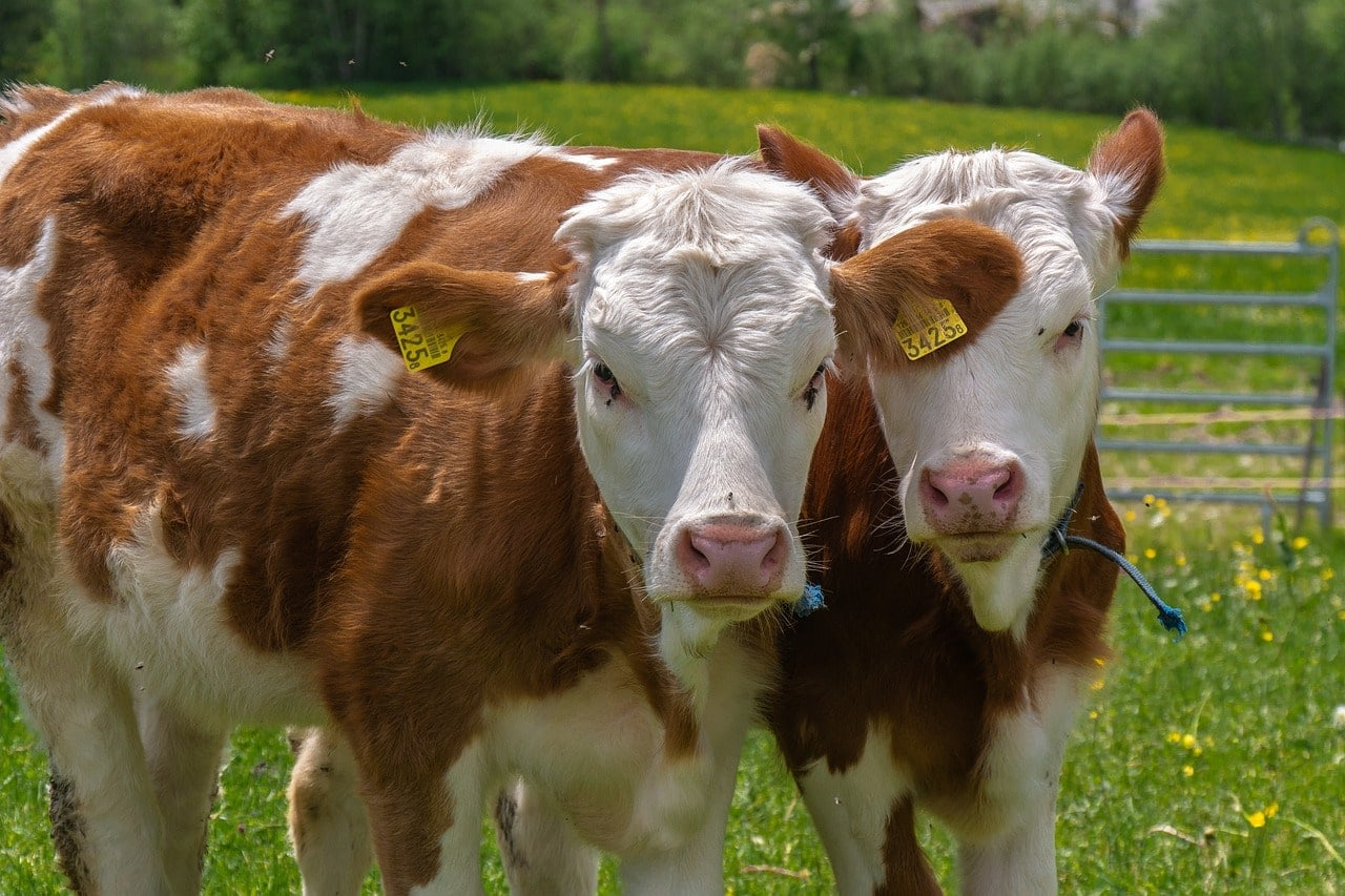 tepelvoering-care4cows-juiste-voer